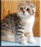 Palmer персидские и британские кошки